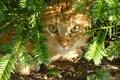 Картинка кошка, кот, земля, рыжая, хвоя, прячется