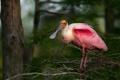 Картинка природа, птица, roseate spoonbill