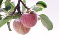 Картинка макро, яблоки, ветка