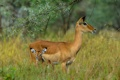 Картинка Tanzania, Serengeti, mammals, grazers, herbivores