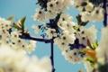Картинка небо, деревья, цветы, вишня, ветви, весна, лепестки