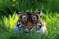 Картинка трава, взгляд, морда, тигр
