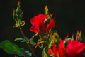 Картинка листья, роза, куст, бутон
