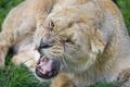 Картинка кошка, взгляд, морда, клыки, оскал, львица, ©Tambako The Jaguar