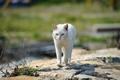 Картинка кошка, белый, трава, кот, камни, улица, прогулка