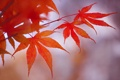 Картинка осень, листья, макро, ветка, японский клен