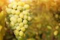 Картинка гроздь, виноград, веточка