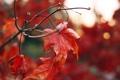 Картинка осень, красный, лист, клен