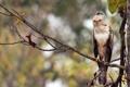 Картинка лес, ветки, птица, Индия, Горный хохлатый орёл
