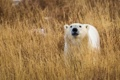 Картинка Grass, nature, Polar Bears