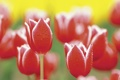 Картинка капли, макро, цветы, природа, роса, растения, тюльпаны