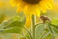 Картинка листья, подсолнух, мышка