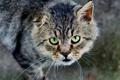 """Картинка глаза, кот, взгляд, портрет, Животные, """"Бобёр"""""""