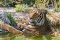Картинка язык, кошка, тигр, купание, ©Tambako The Jaguar