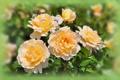 Картинка бутоны, розы, жёлтые, лепестки, размытость, цветы
