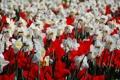 Картинка нарциссы, тюльпаны, белый, природа, поле, красный, цветы