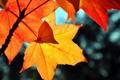 Картинка листья, блики, желтые, красные, кленовые