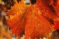Картинка резной, осень, лист, прожилки