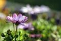 Картинка цветок, фиолетовый, блики, розкрытый