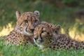 Картинка хищники, парочка, гепарды