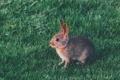 Картинка трава, шерсть, кролик, ушки