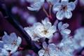 Картинка цветы, ветка, весна, лепестки