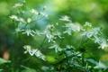 Картинка белые, цветы, зелень, макро, лето