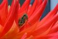 Картинка растение, цветок, насекомое, кузнечик, лепестки