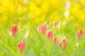 Картинка Цветы, Тюльпаны, Розовый, Жёлтый, Зелёный