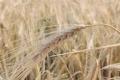 Картинка пшеница, поле, рожь, урожай, колоски, сухие, колосья