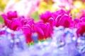 Картинка цветы, colors, тюльпаны, summer, flowers, tulips, sunny
