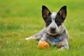 Картинка игрушка, щенок, Австралийская пастушья собака, австралийский хилер