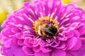Картинка макро, пыльца, Цветок, шмель, циния, puxa