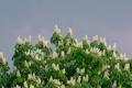 Картинка небо, листья, цветы, дерево, каштан, соцветие