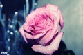 Картинка капли, цветы, роза