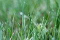 Картинка трава, капли, роса, размытость, линейные листочки