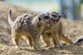 Картинка песок, драка, ©Tambako The Jaguar, сурикаты, пара