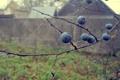 Картинка осень, капли, макро, ягоды