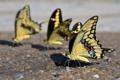 Картинка природа, Mariposas Amarillas, Yellow Butterflies