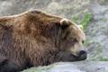 Картинка взгляд, морда, медведь, мишка, профиль