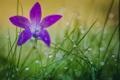 Картинка цветок, трава, капли, природа, роса, лепестки