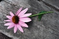 Картинка цветок, ромашка, розовый цветок