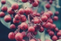 Картинка ягоды, ветка, красные, много