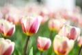Картинка макро, цветы, букет, тюльпаны