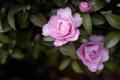 Картинка цветы, розовые, камелии