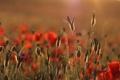 Картинка поле, лето, цветы, природа, маки