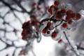 Картинка лед, зима, рябина
