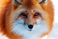 Картинка fox, look, fur