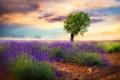 Картинка природа, дерево, лаванды