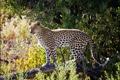 Картинка трава, деревья, хищник, леопард